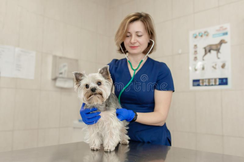 Young smiling professional veterinarian woman exam dog breed yorkshire terrier using stethoscope stock image