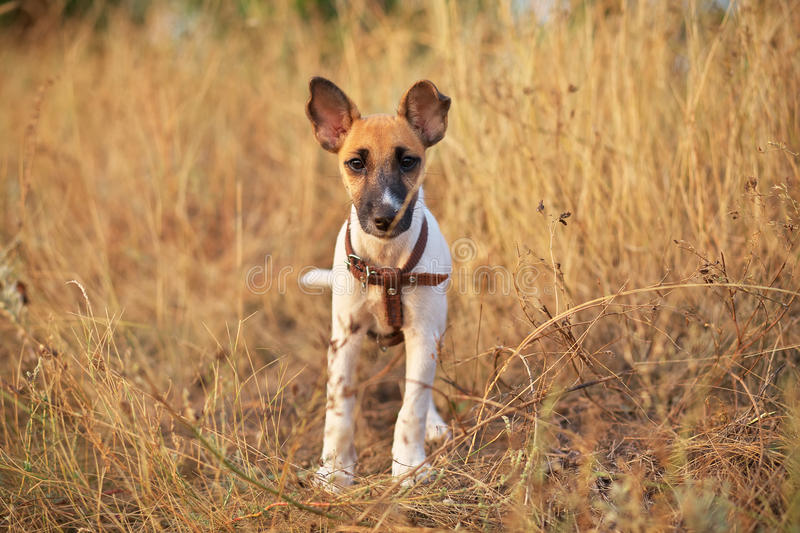 Young smooth fox terrier. Sitting in the meadow stock image