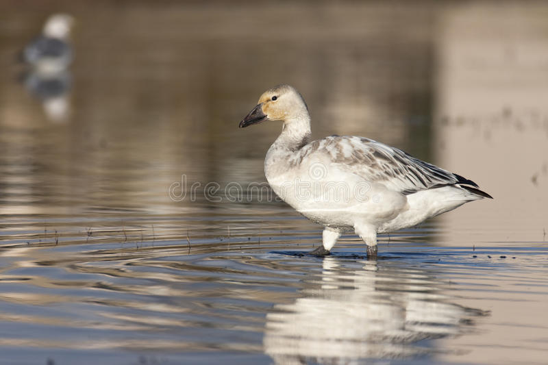 Download Young snow geese stock image. Image of bathing, young - 13050035