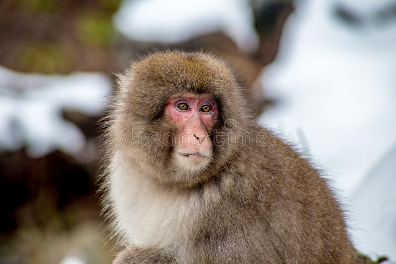 Young snow monkey in the wild. A Japanese Macaque, or Snow Monkey, sits along a mountain path in Yamanouchi, Nagano, Japan, near the famed Jigokudani Monkey Park stock image
