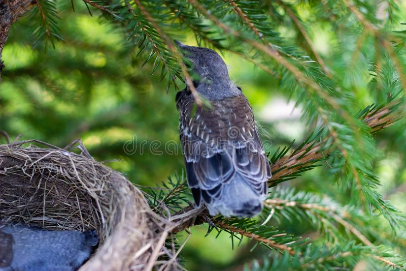 Young song thrush sitting on a branch chicks in a nest on a tree branch close up in spring in the sunlight stock images