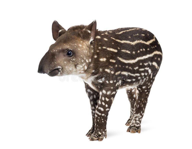 Young South american tapir, , 41 days old royalty free stock photo