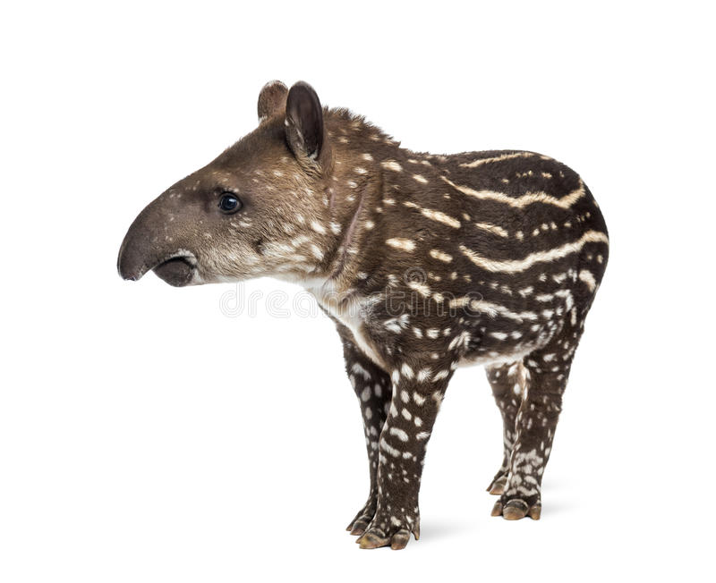 Young South american tapir, , 41 days old stock photography