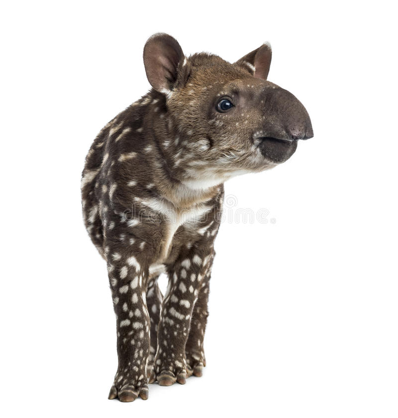 Young South american tapir, , 41 days old royalty free stock image