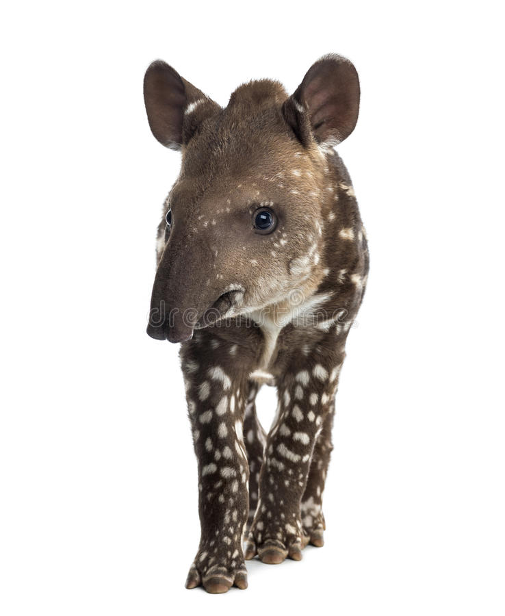 Young South american tapir, isolated, 41 days old royalty free stock photos