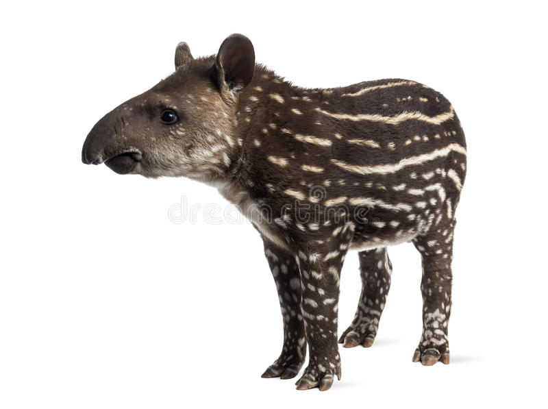 Young South american tapir, isolated, 41 days old stock images
