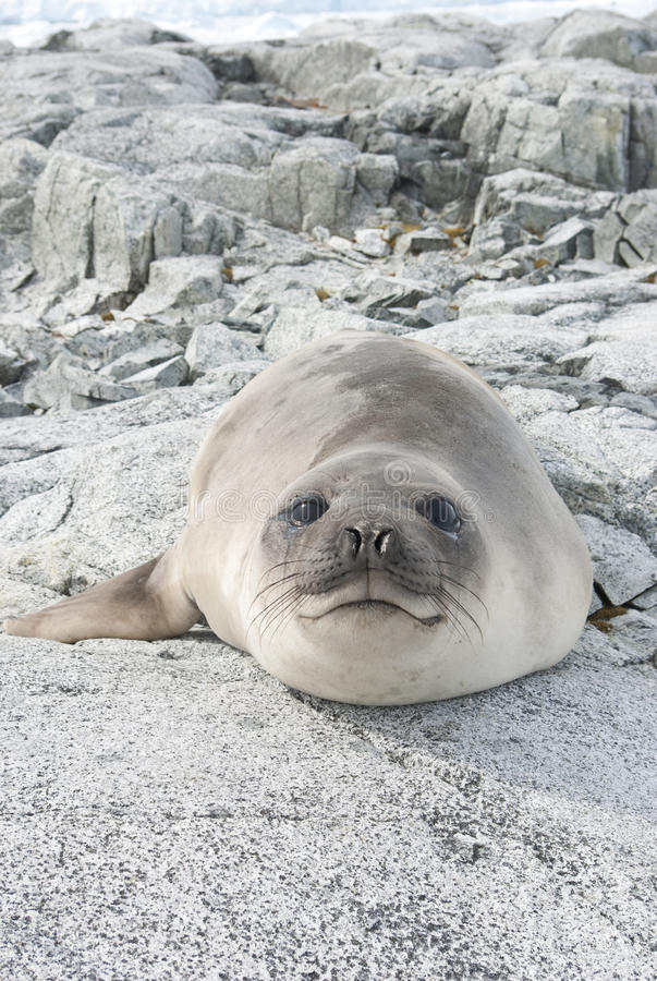 Young Southern Elephant Seal On The Rocks. Royalty Free Stock Image