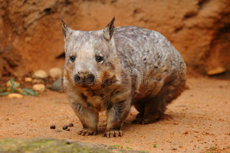 Young Southern Hairy-nosed Wombat. Southern Hairy-nosed Wombat, Lasiorhinus latifrons, Australia. The Southern Hairy-nosed Wombat is one of three species of stock photo