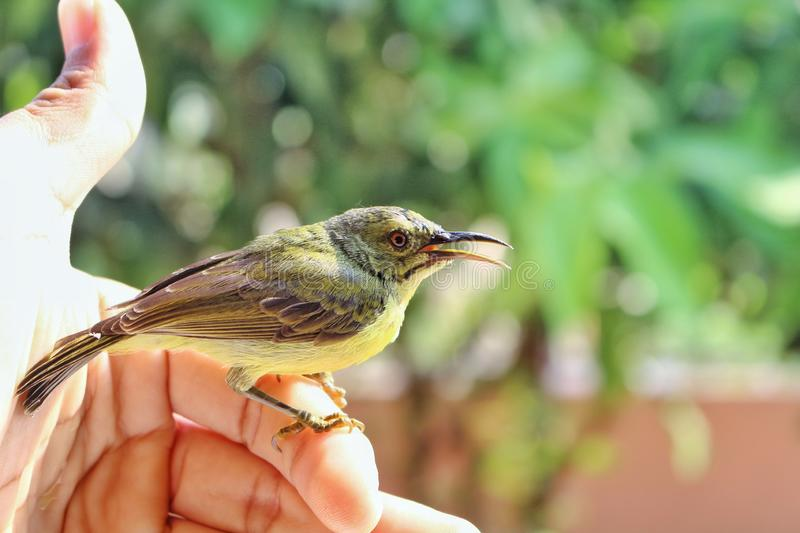 Young sparrow bird on finger is wildlife stay in home.  stock photos