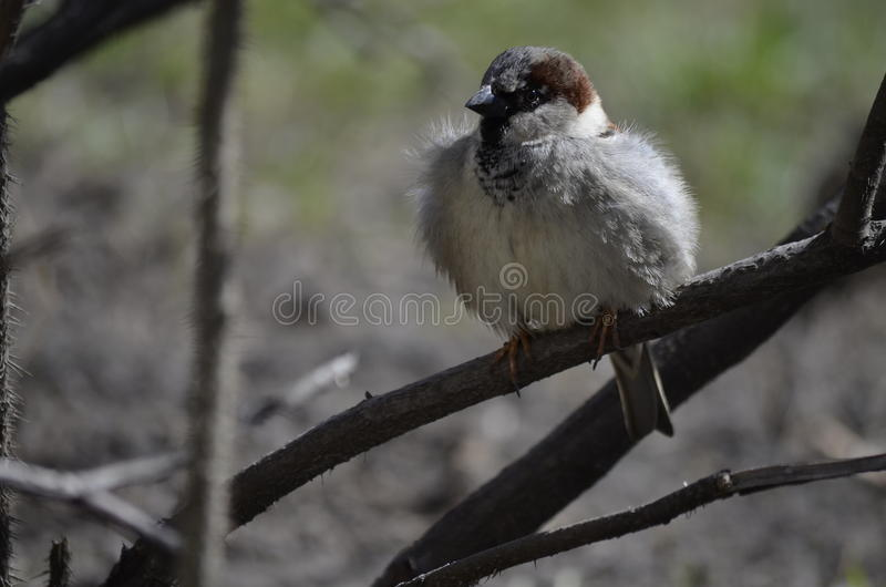 Young sparrow royalty free stock image