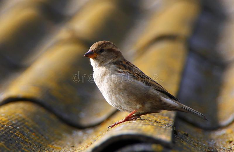 Young sparrow on the edge of the roof stock images