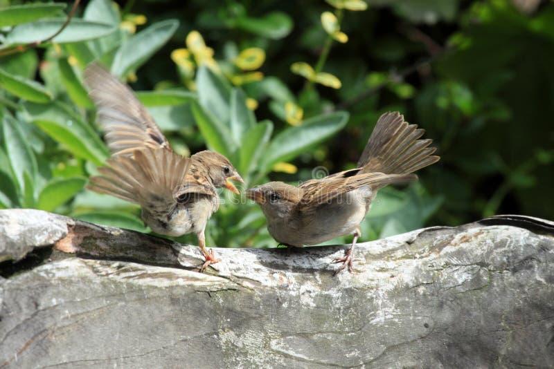 Young sparrows birds stock photo