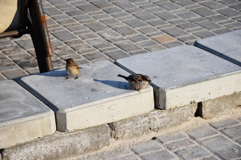 Young sparrows at home. royalty free stock images