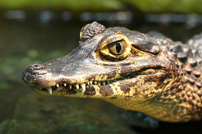 Young Spectacled Caiman royalty free stock image