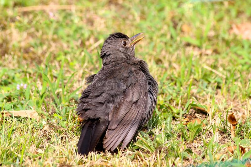 The young spotless starling Sturnus unicolor on the grass. The young spotless starling on the grass. Italy. Summer, July royalty free stock photography