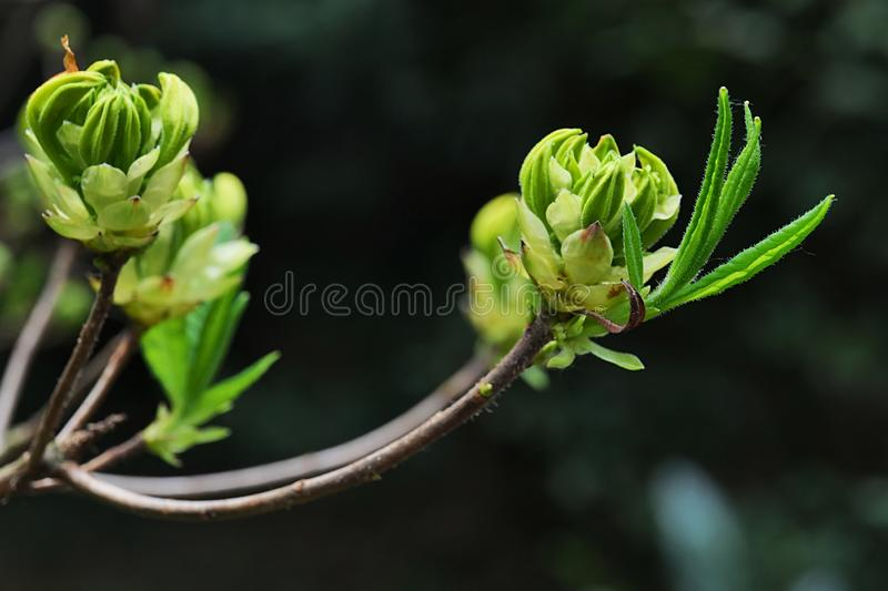 Young spring buds of Yellow Azalea decorative shrub plant, latin name Rhododendron Luteum,. Sunbathing in daylight sunshine royalty free stock photography