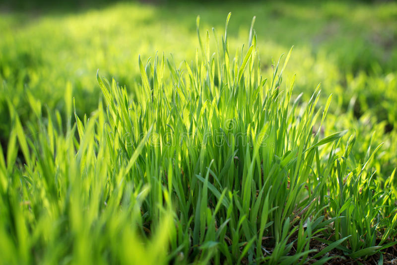 Download Young Spring Grass Growing From Fertilizer Stock Image - Image of gardening, cultivate: 89581269