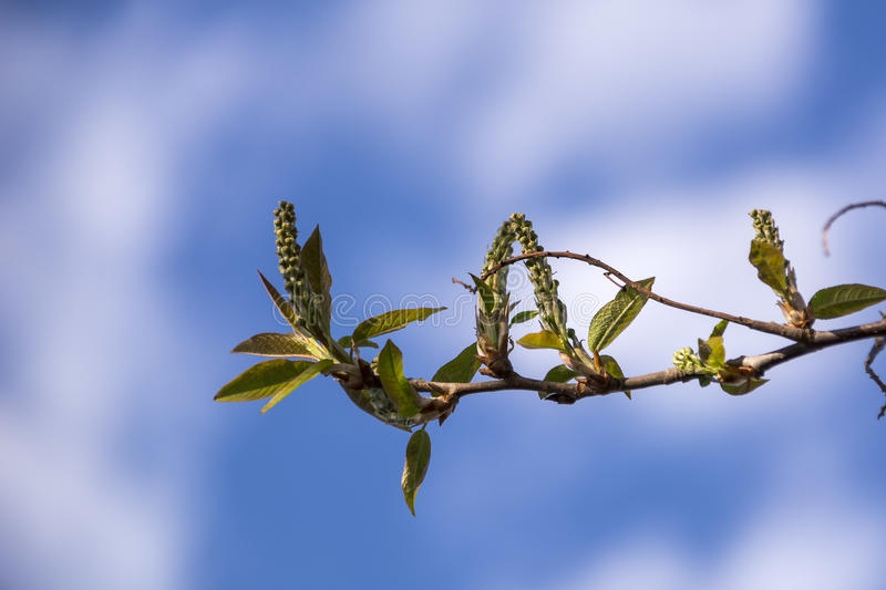 Young spring green leaves on faded background with copy space. Background with spring bird cherry branches and blue sky. royalty free stock images