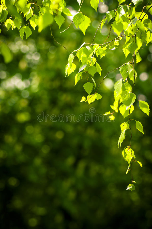 Download Young spring leaves stock image. Image of lush, summer - 24741175