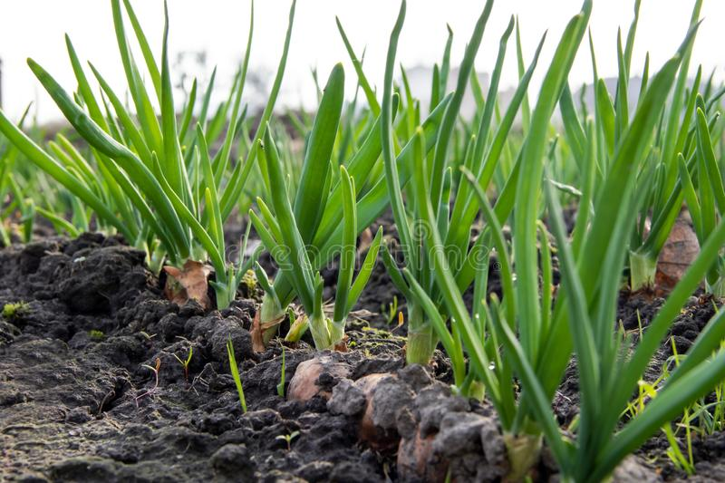 Young spring onion sprout on the field. Organically grown onions with chives in the soil. Organic farming royalty free stock photography