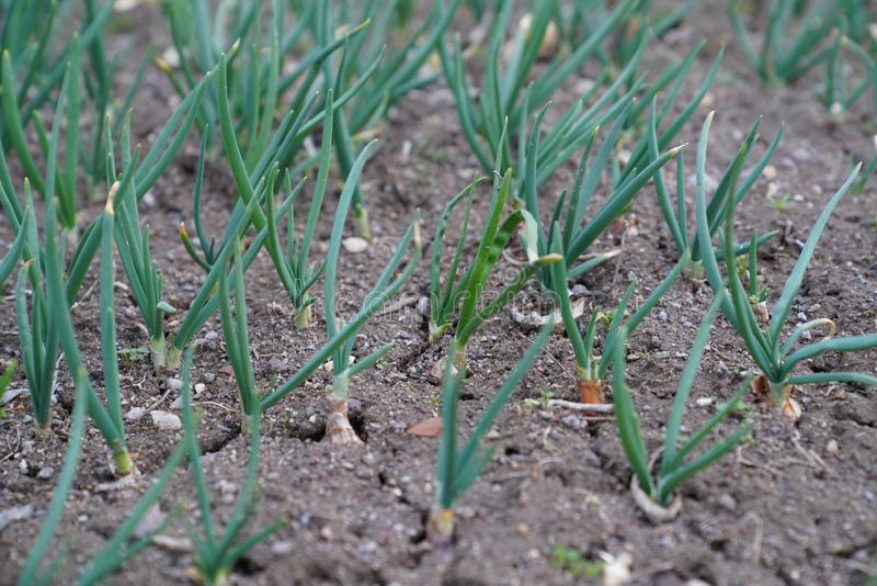 Young spring onions growing on cracked soil in a garden stock image