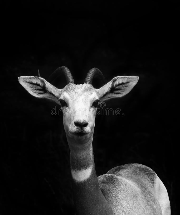 Young Springbok portrait. Young Black and white Springbok portrait looking at you during a Safari stock image