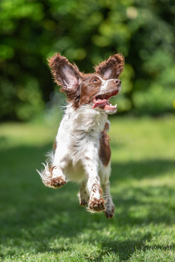 Young springer spaniel jumping for joy with flying ears. Action adorable animal background beautiful brown canine cute dog ears enjoying life excited excitement royalty free stock image