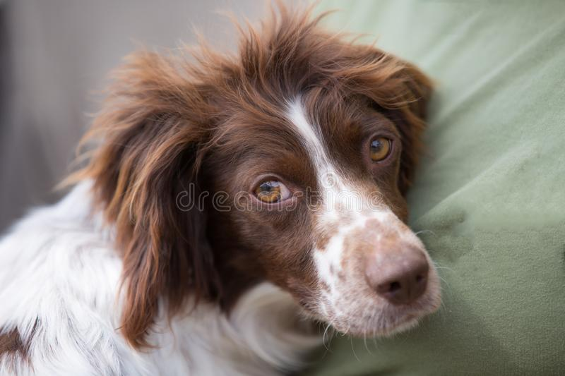 Young Springer Spaniel portrait. Adorable animal bad hair day beautiful best friends breed brown eyes calm canine comfortable cosy cozy cute dog funny fur royalty free stock photo