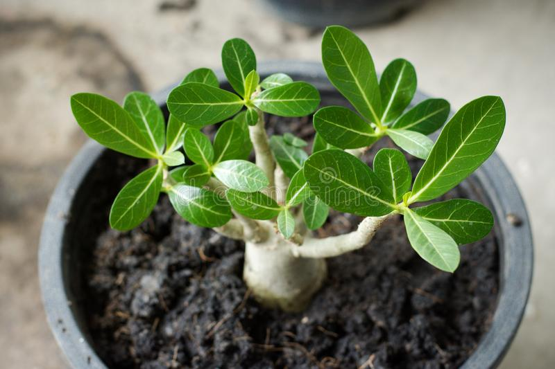 Young sprout of adenium in circle black pot stock images