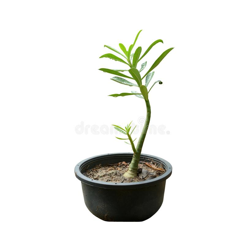 Young sprout adenium obesum in black pot. royalty free stock images