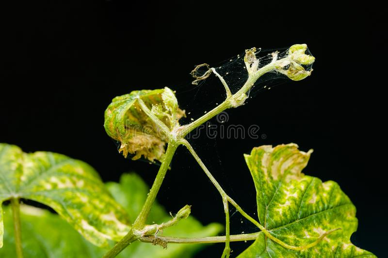 A young sprout of grapes is infected with parasites - a spider mite. Isolated on a black background stock photo