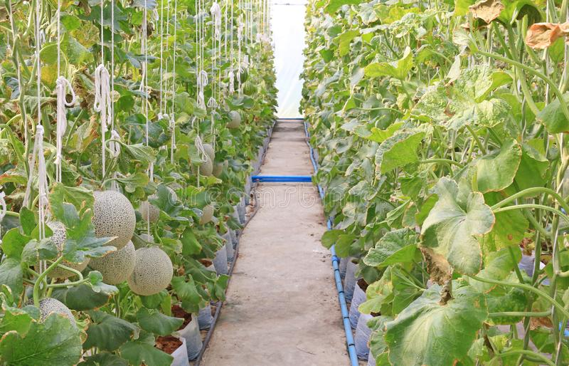Young sprout of Japanese melons or green melons or cantaloupe melons plants growing in greenhouse supported by string melon nets royalty free stock photography