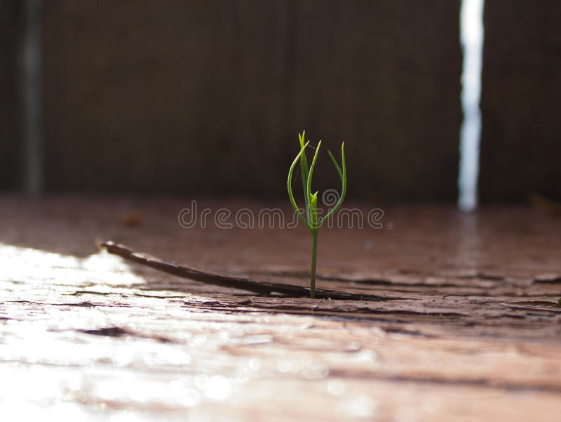 Young sprout making its way through a wooden board stock photo