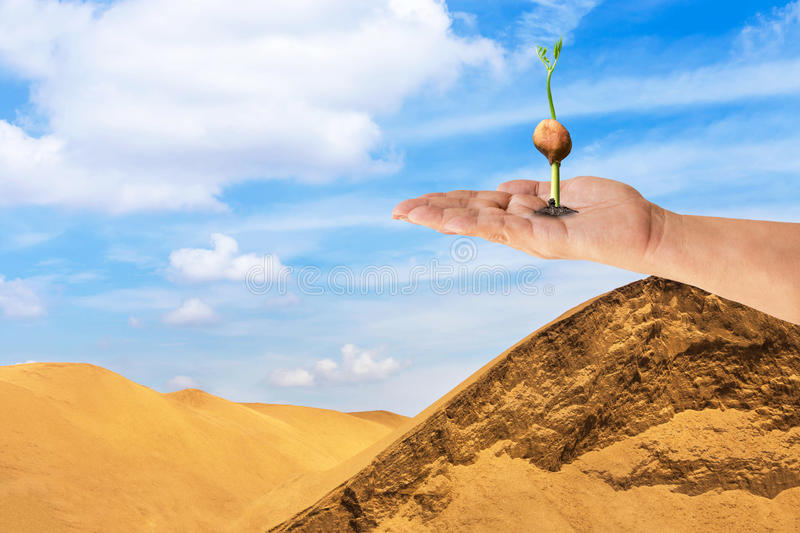 Young sprout plant growing out of soil from seed on hand in desert. Global warming concept stock photography