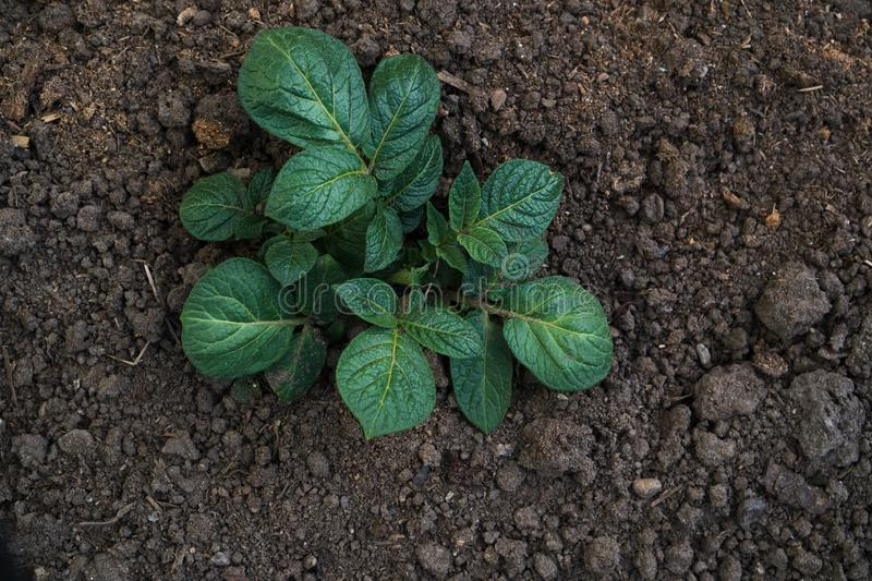 Young sprout of potato with green leaves growing from soil on potato field close up. Green vernal sprouts of potato plant growing royalty free stock photo