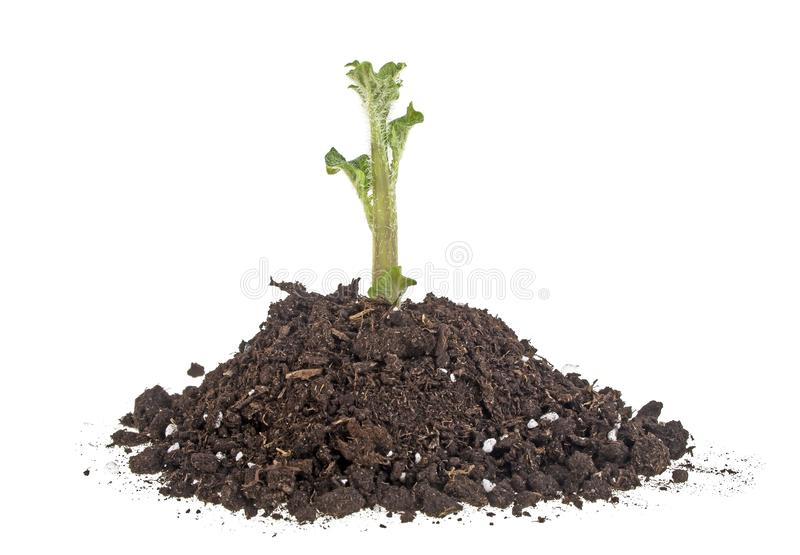 Young sprout of potato in soil humus on a white background royalty free stock images