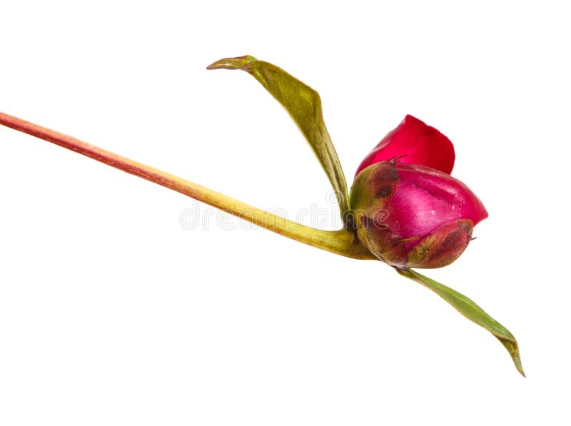 A young sprout of a red peony. Unbaked bud isolated on white. Background stock photos
