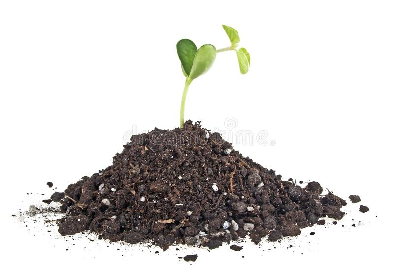 Young sprout of soy in soil humus on a white background royalty free stock photo