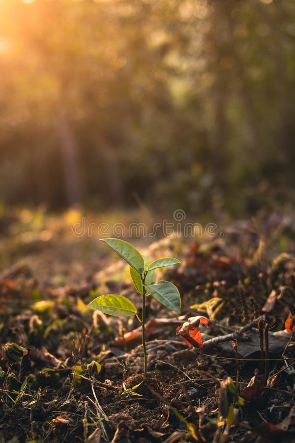 Young plant in the forest evening. Young sprout in springtime,Closeup.Hands of farmer growing plant a tree natural background,Plant a tree growing plant The soil royalty free stock image