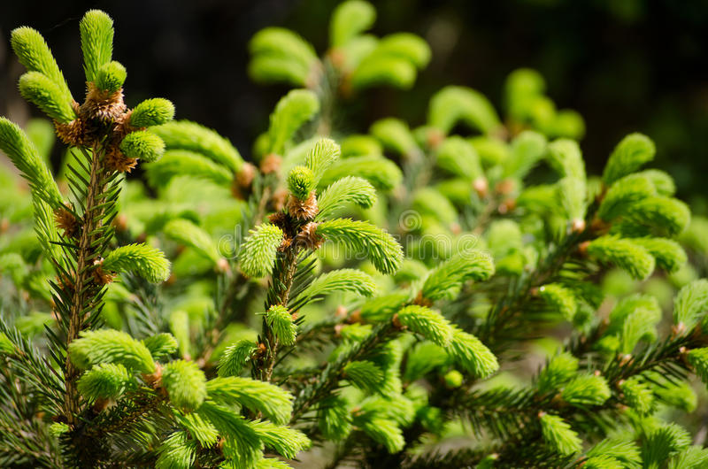 Young sprout of spruce. Fresh young green shoots in springtime selective soft focus stock photography