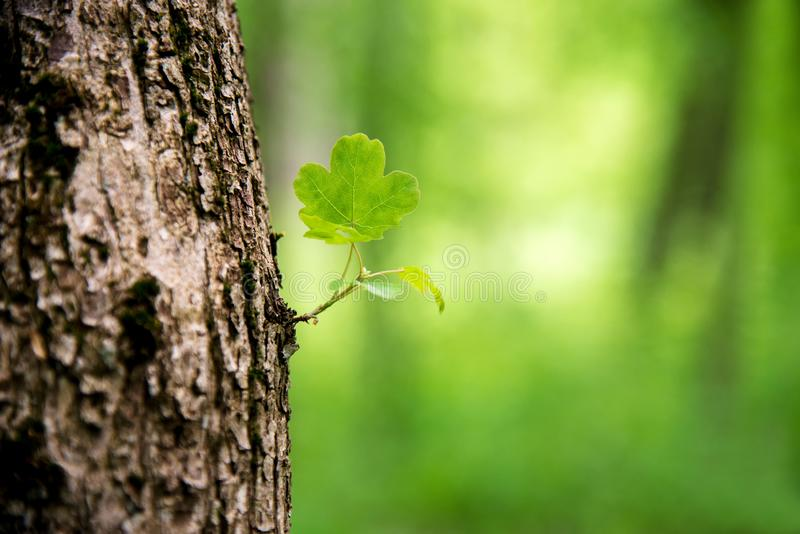 Young sprout of tree coming of the tree trunk and stem whit cute leaves and new branch leaves. In fresh spring summer season growing stock images