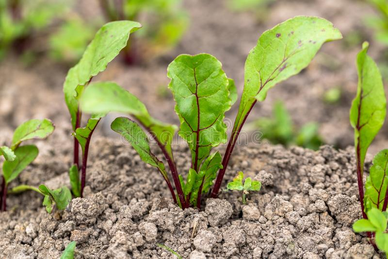 Young, sprouted beet growing in open ground flat bed into the garden. Growing vegetables at home royalty free stock image