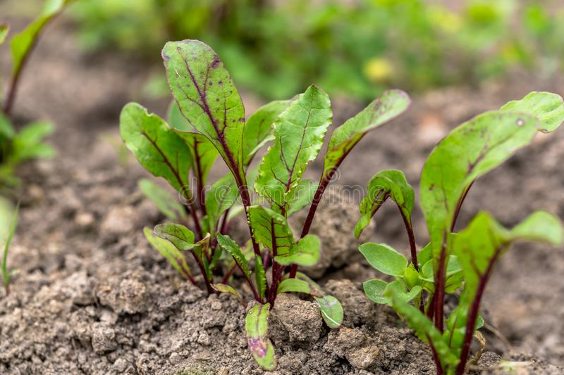 Young, sprouted beet growing in open ground flat bed into the garden. Growing vegetables at home royalty free stock photo