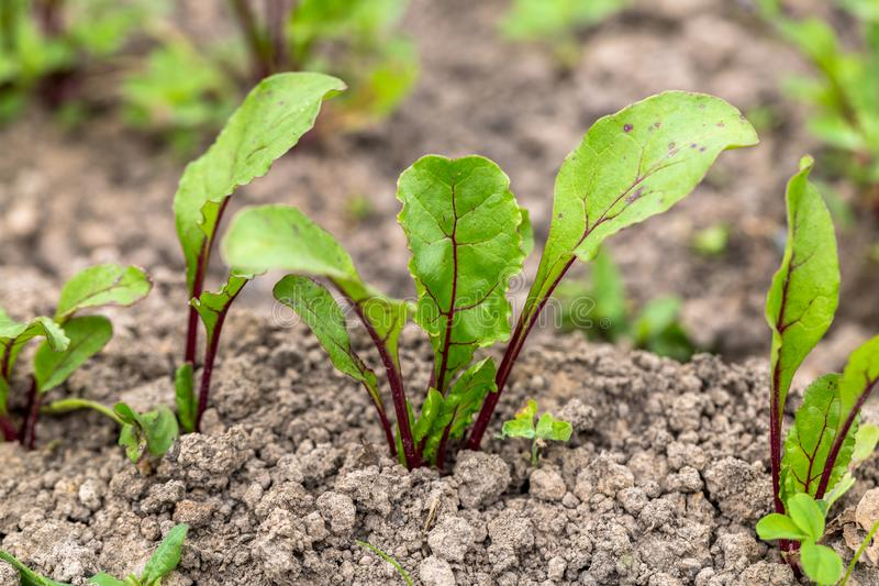Young, sprouted beet growing in open ground flat bed into the garden. Growing vegetables at home stock image