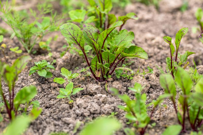 Young, sprouted beet growing in open ground flat bed into the garden. Growing vegetables at home stock images