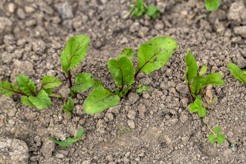 Young, sprouted beet growing in open ground flat bed into the garden. Growing vegetables at home stock photography