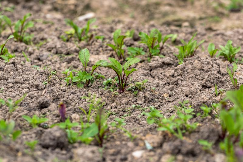 Young, sprouted beet growing in open ground flat bed into the garden. Growing vegetables at home royalty free stock photos