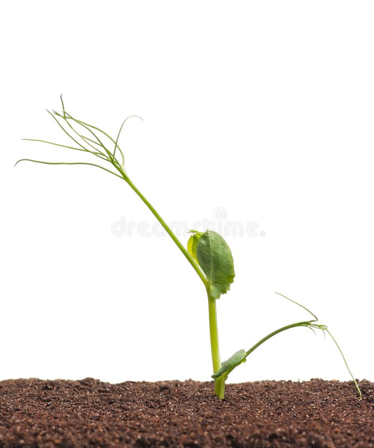 Young sprouted peas stock photos
