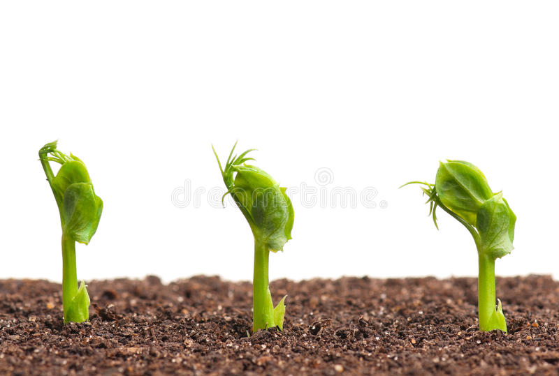 Young sprouted peas. Sprouted peas in organic soil over white background royalty free stock photo
