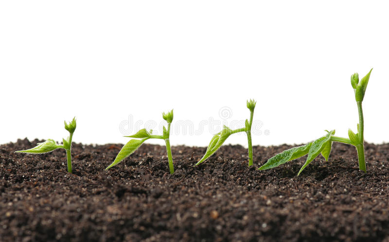 Young sprouted peas royalty free stock photography